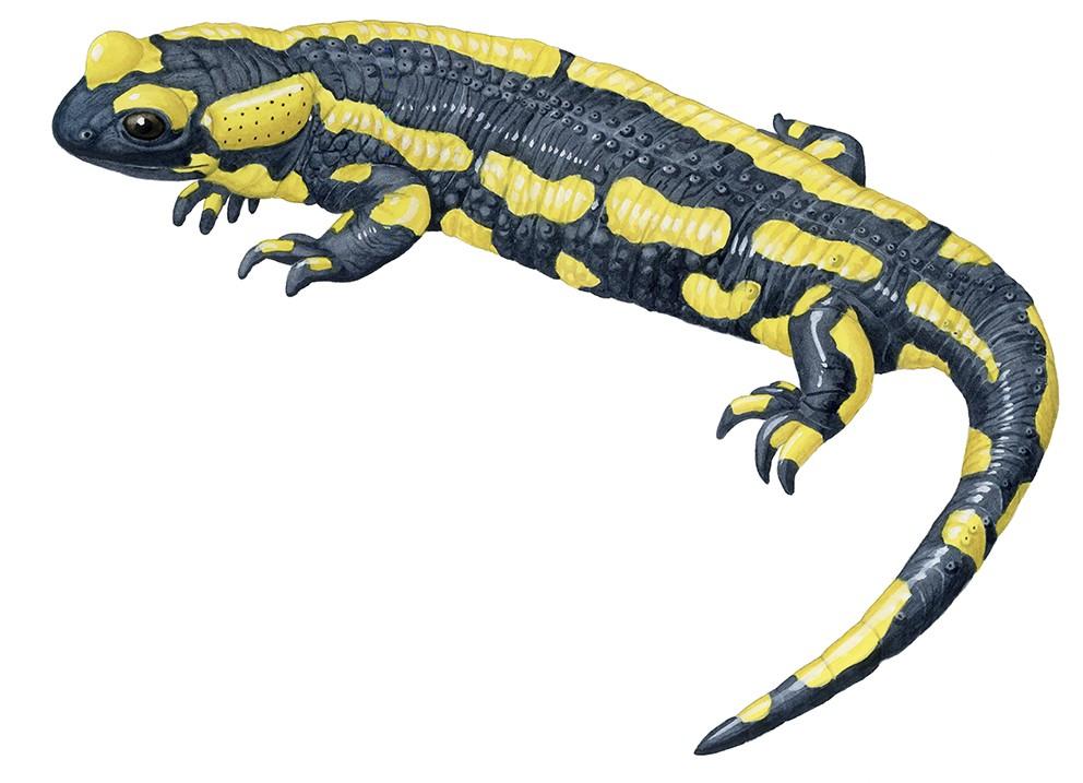 A_002_Salamandra_salamandra