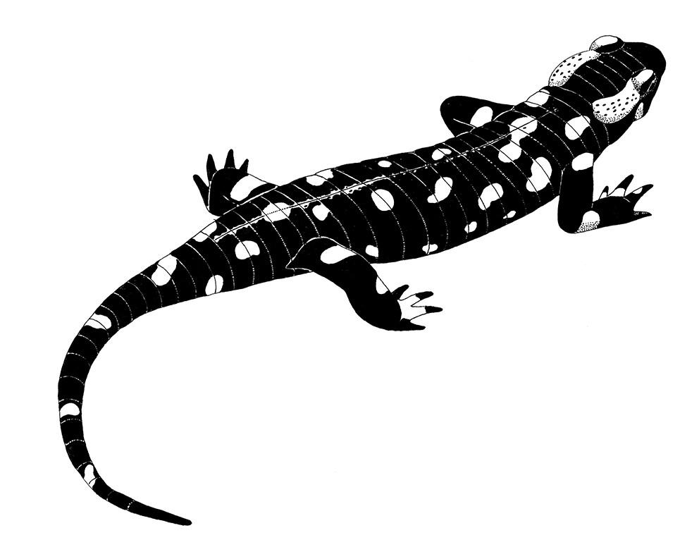 A_004_Salamandra_salamandra