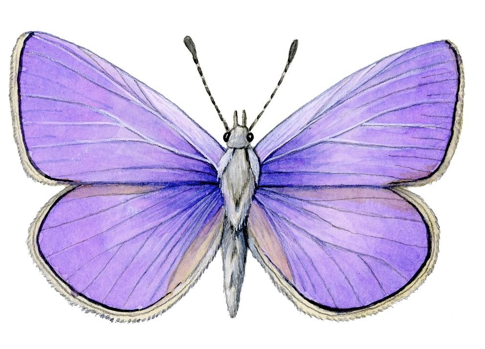 I_015_Polyommatus_icarus