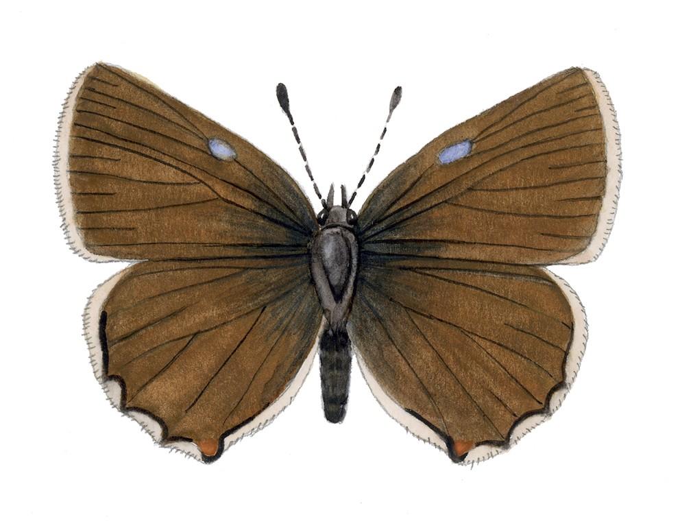I_026_Callophrys_rubi