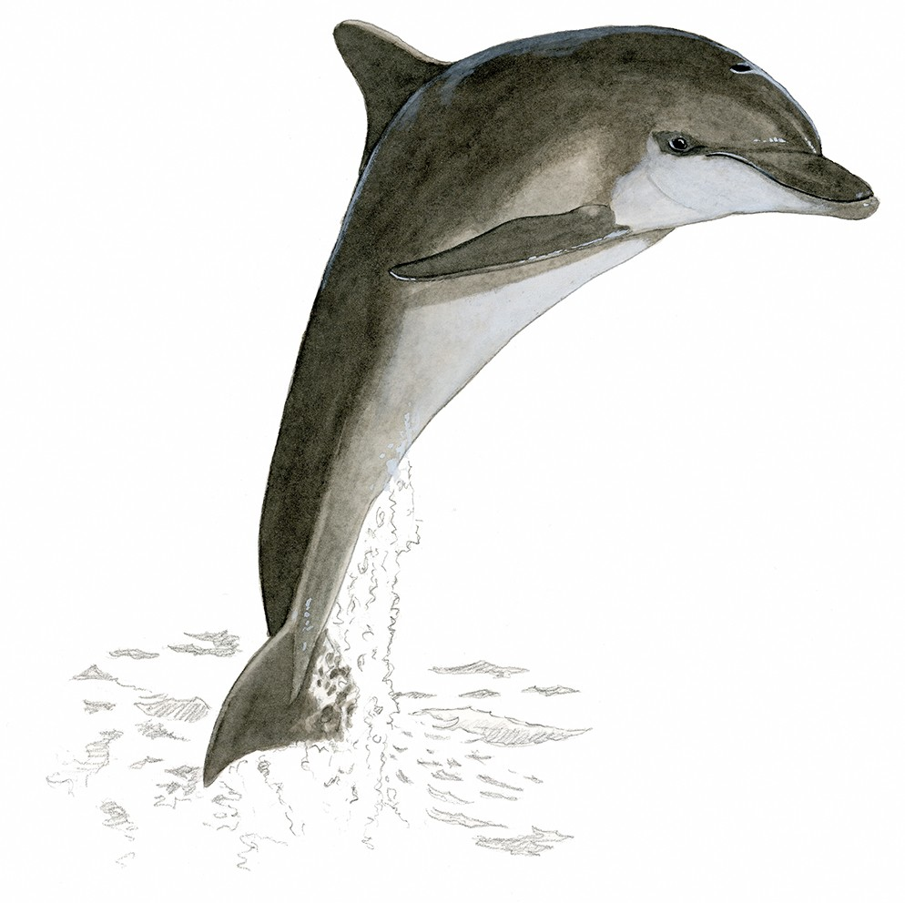 M_114_Tursiops truncatus