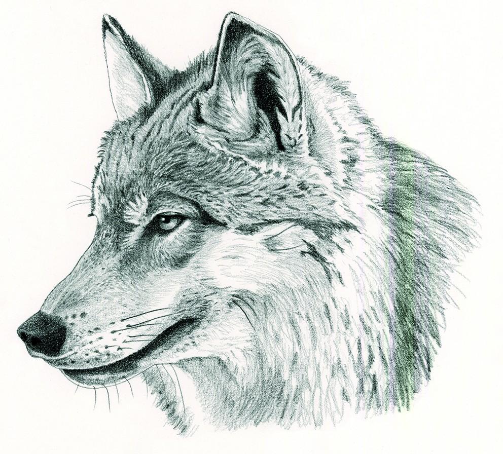 M_121_Canis lupus