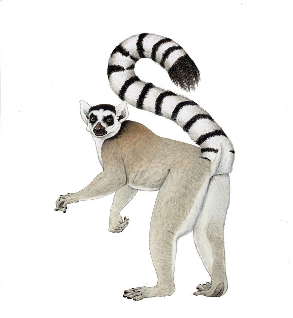 M_133_N_Lemur catta