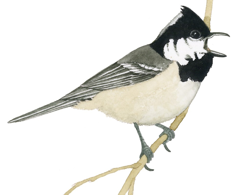 O_048_Parus ater2