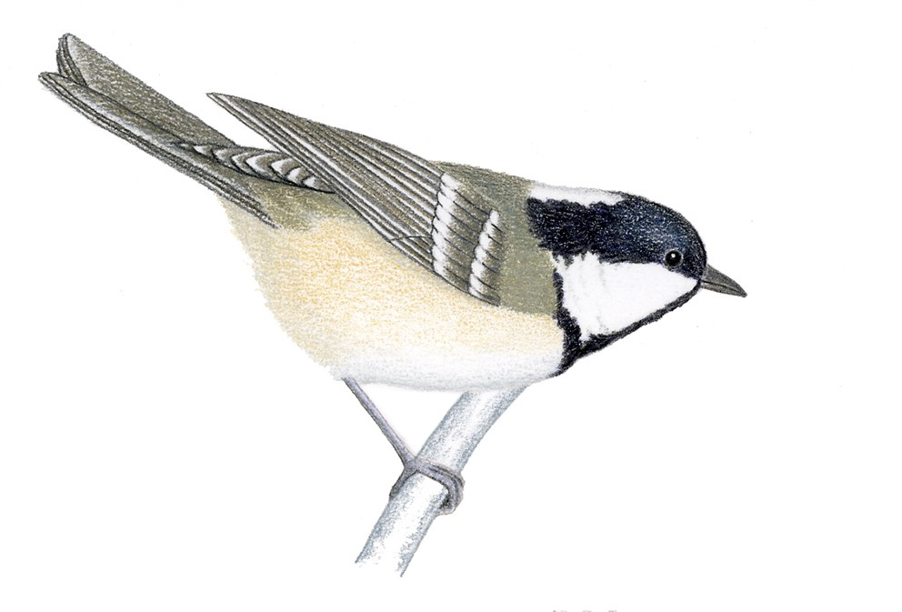 O_055_Parus ater