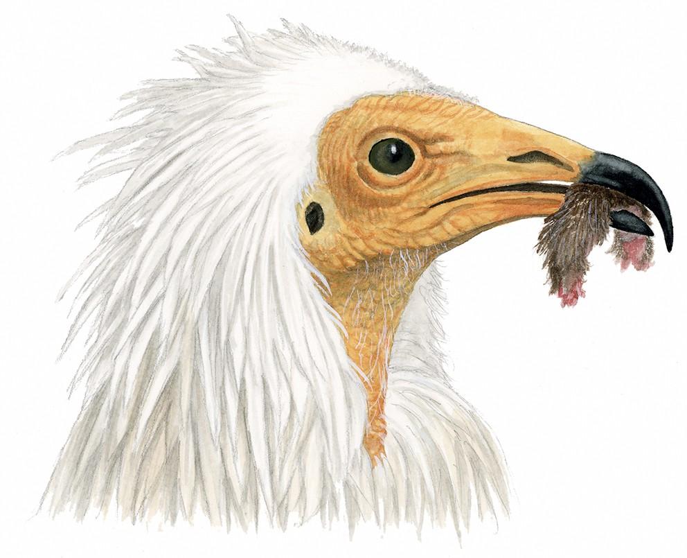 O_112_Neophron percnopterus
