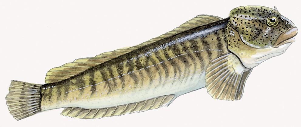 P_004_Salaria fluviatilis001