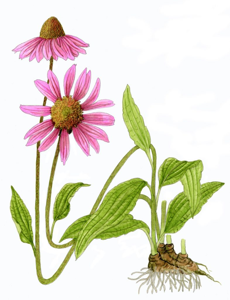 V_010_Echinacea purpurea