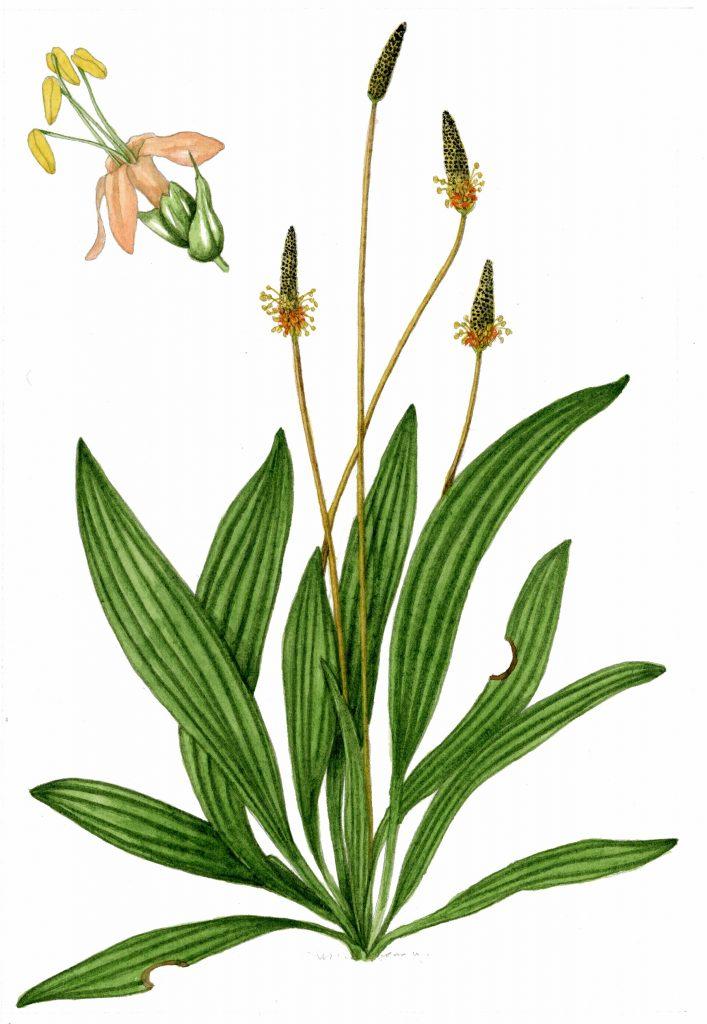V_015_Plantago lanceolata