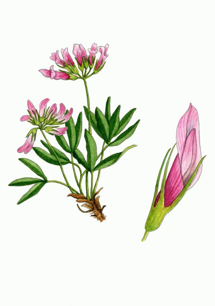 V_031_Trifolium_alpinum