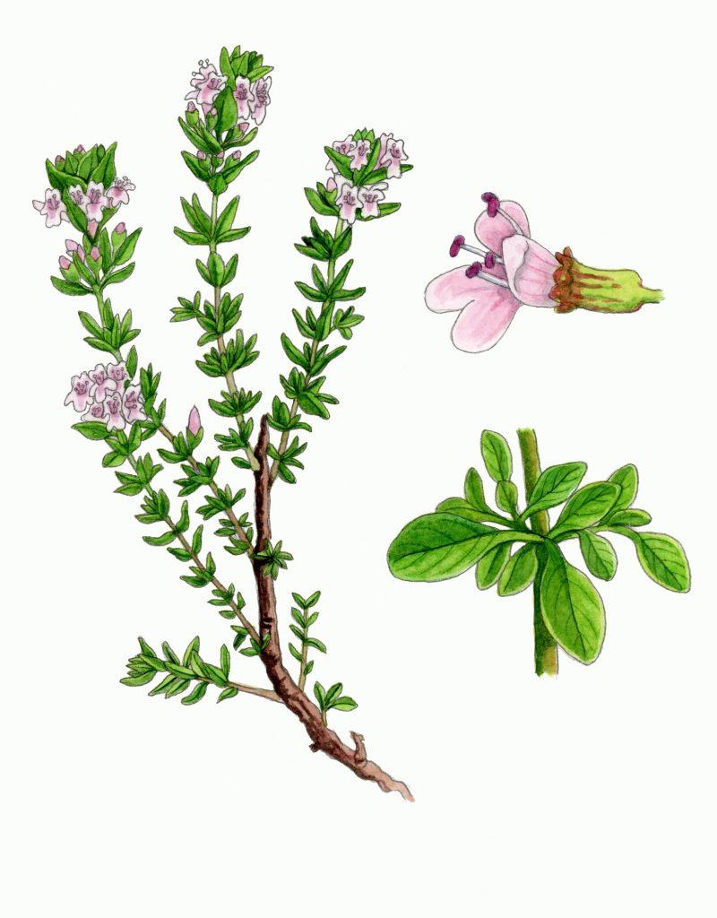 V_032_Thymus_vulgaris
