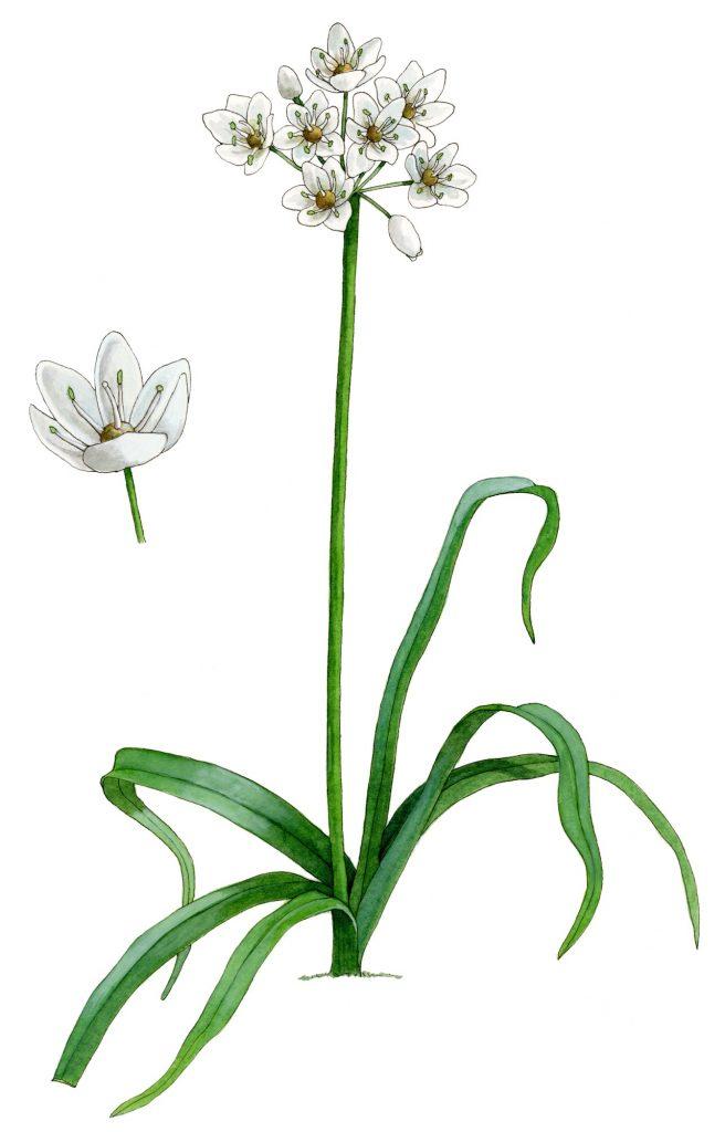 V_039_Allium_neapolitanum
