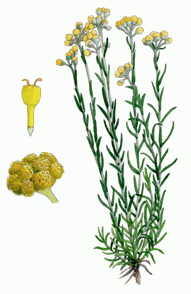 V_053_Helichrysum stoechas