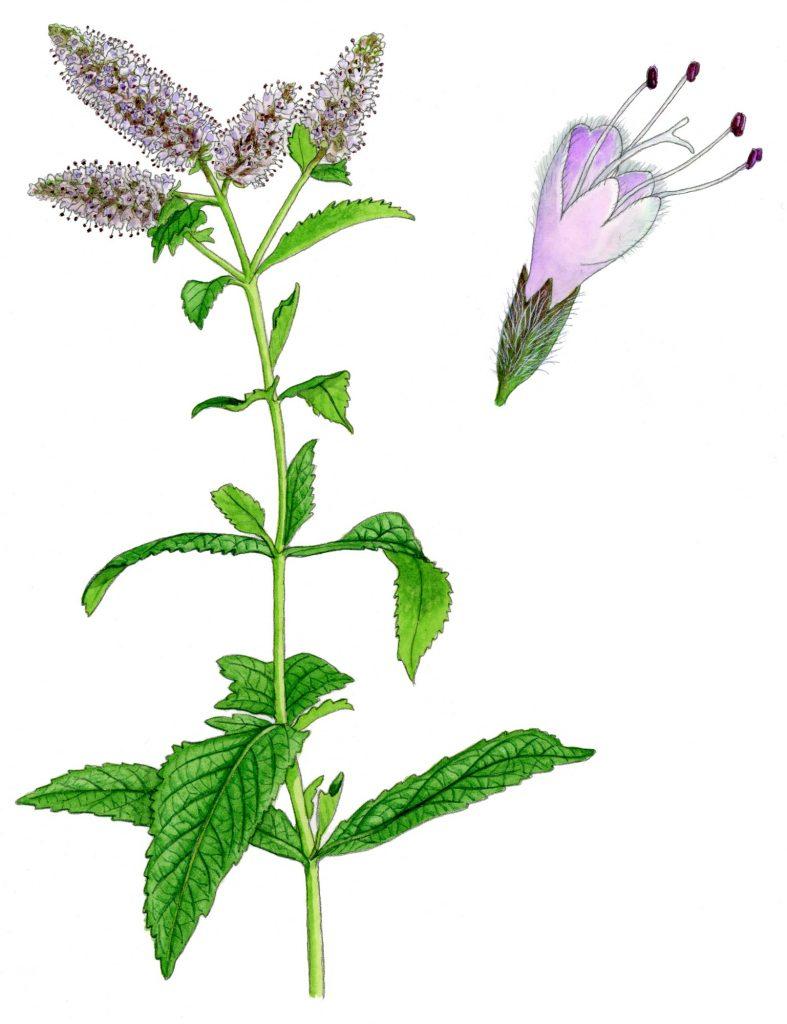 V_055_Mentha_longifolia
