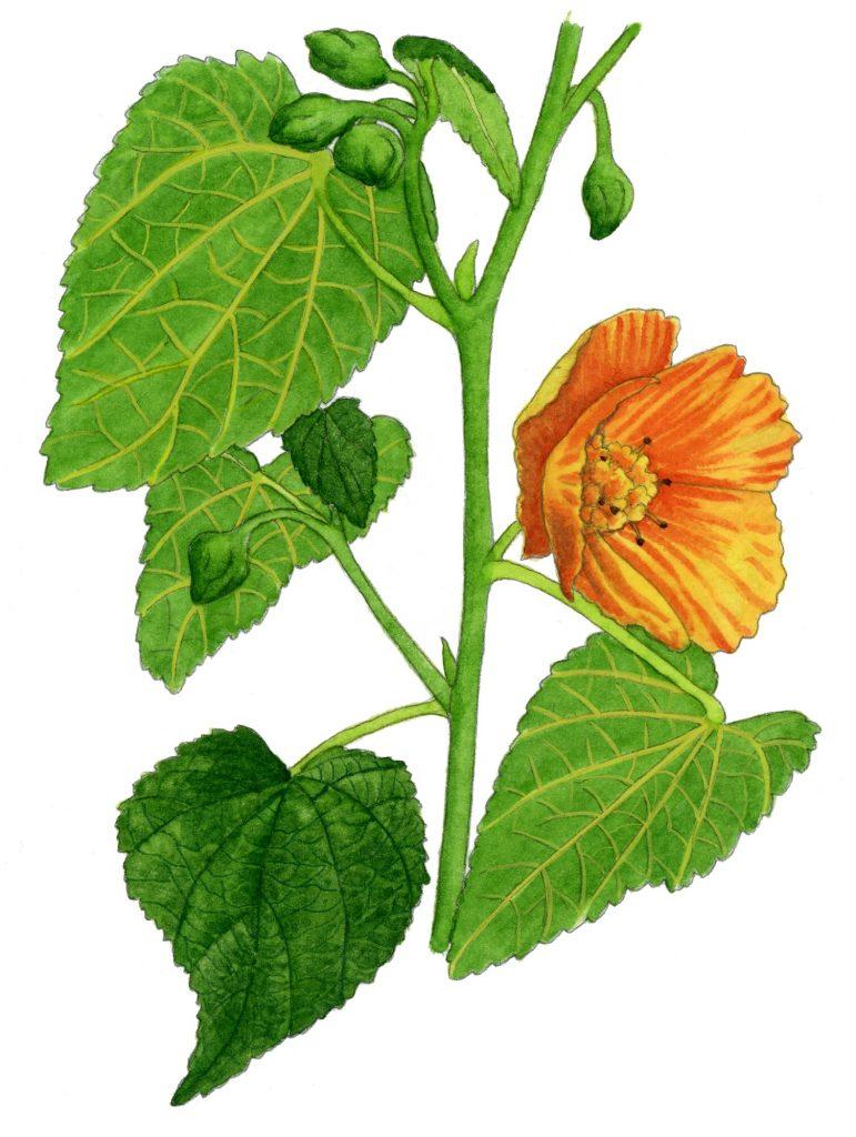 V_056_Abutilon grandifolium
