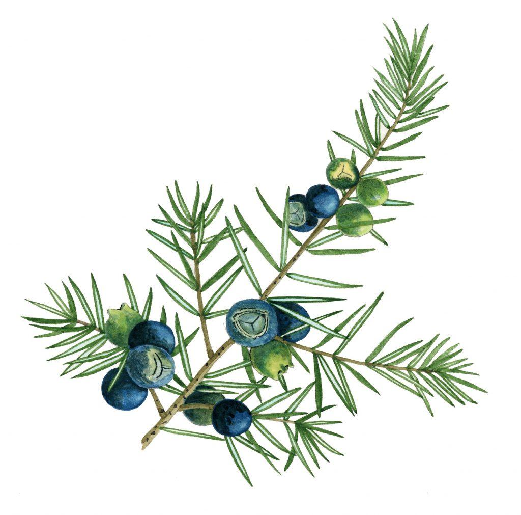 V_251_Juniperus communis