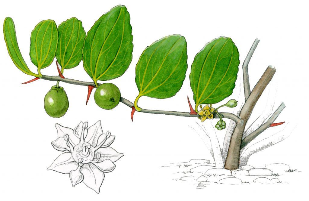 V_253_Ziziphus lotus