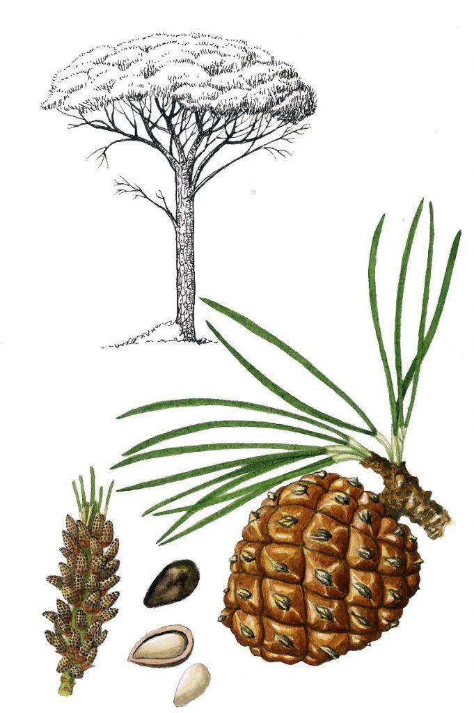 V_265_Pinus pinea