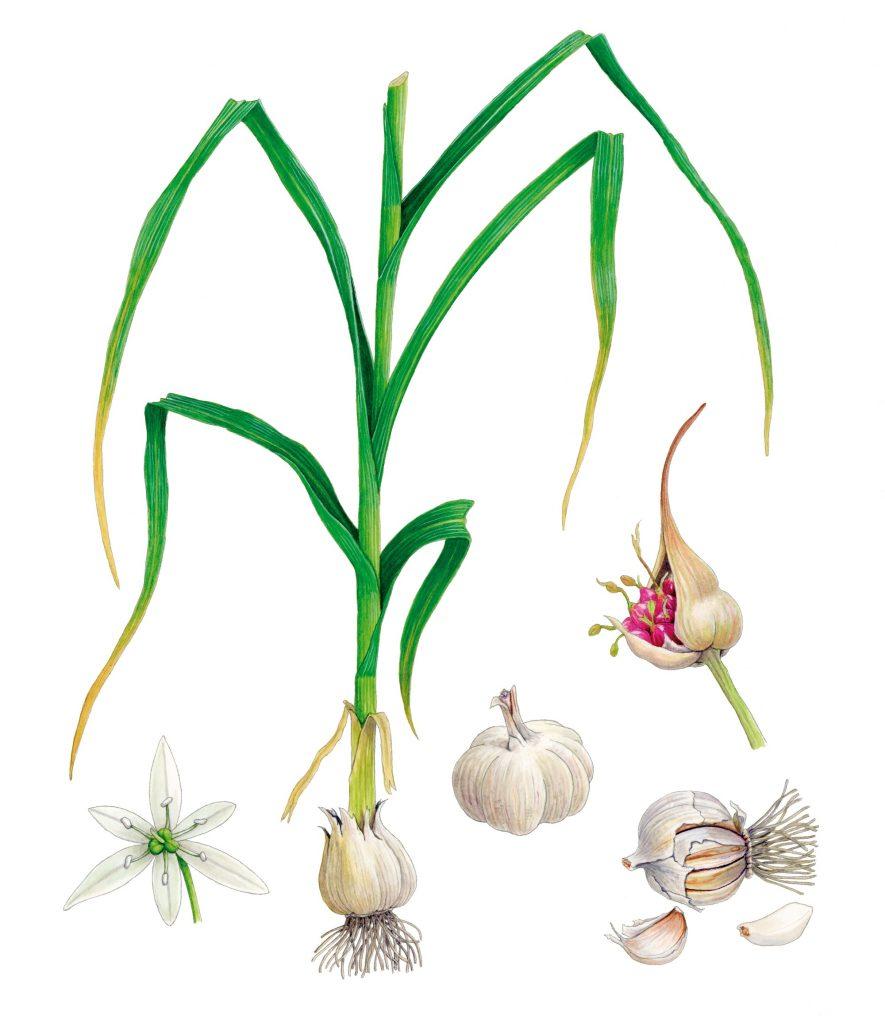 V_275_Allium
