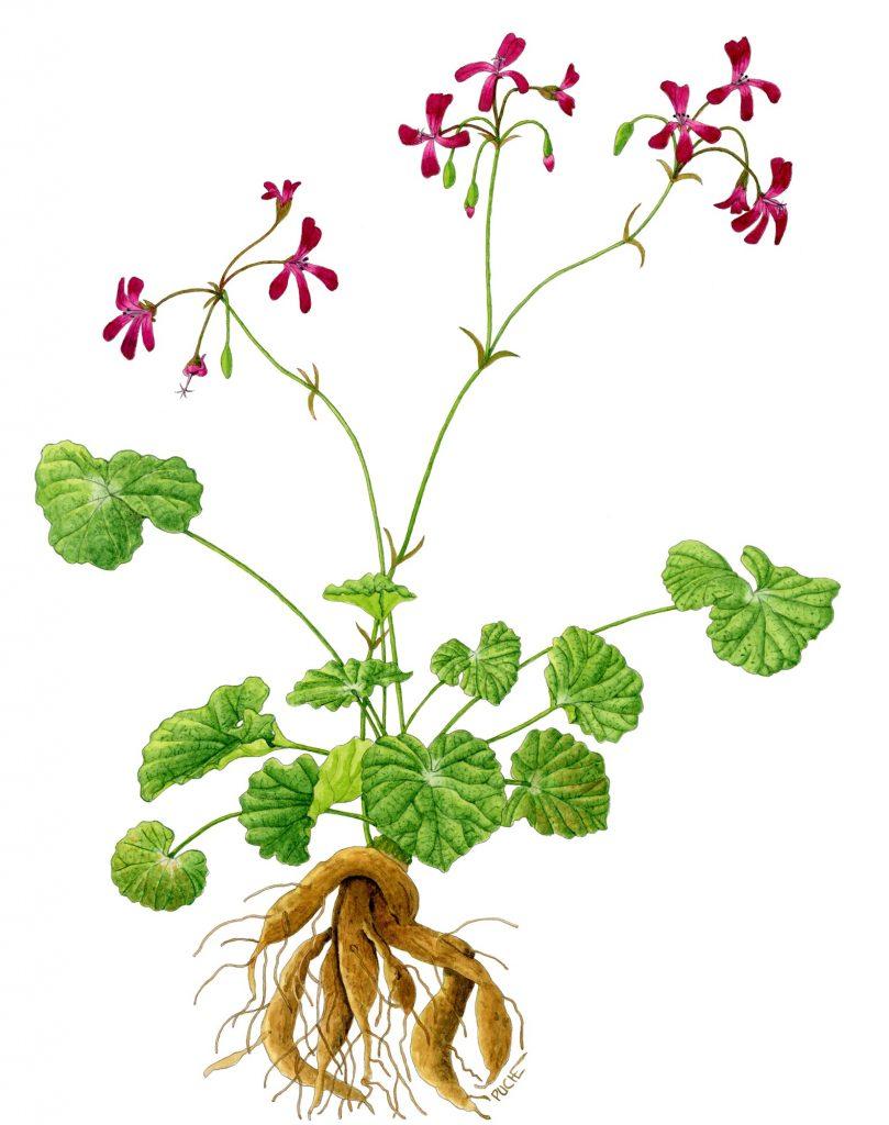 V_278_Pelargonium sidoides