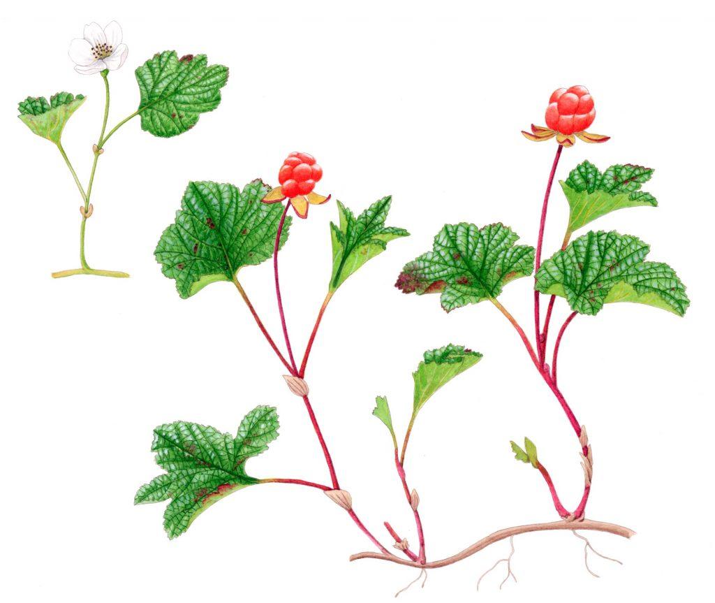 V_280_Rubus chamaemorus 2