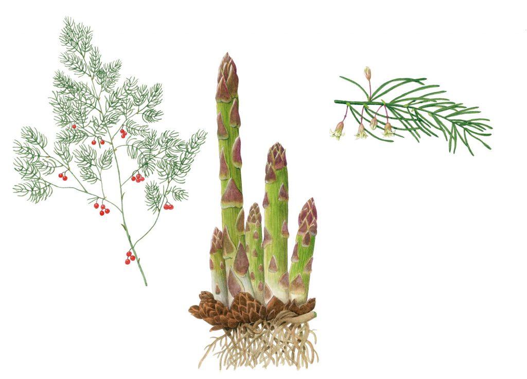 V_283_Asparagus officinalis