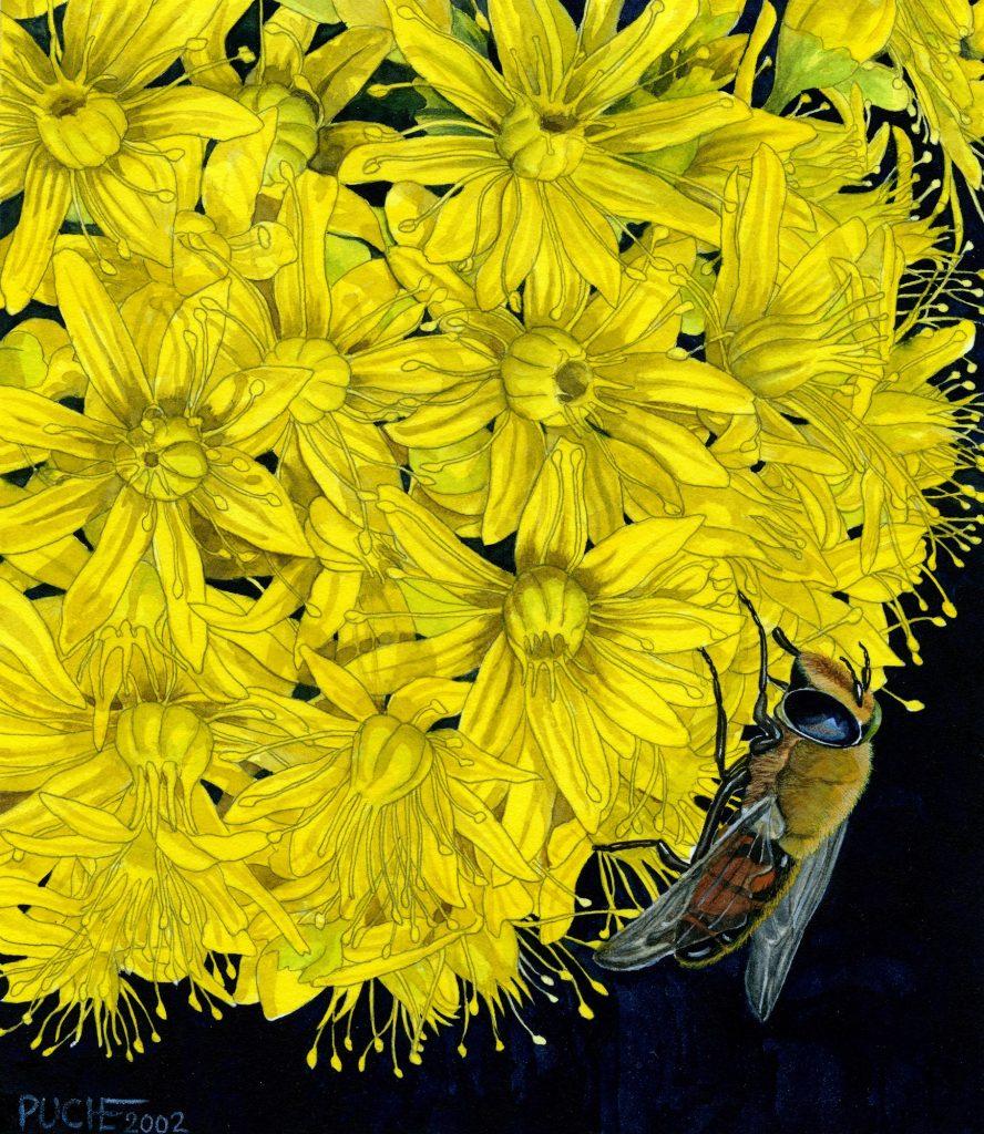 V_284_ Aeonium arboreum